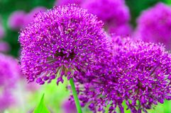 Род цветковые растения лука лукабатуна цветение цветка похожих на Глобус цветк-голов живое фиолетовое полностью Фиолетовые и ярки стоковое фото