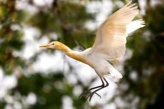 Род bubulcus Egret скотин, летая на зеленую предпосылку стоковое фото rf