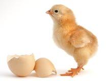 рожденный цыпленок новый Стоковое Фото