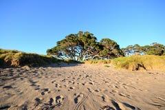 Рождественская елка Новой Зеландии стоковое изображение rf