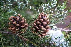 Рождественская елка предпосылки рождества и Нового Года с конусами Стоковые Фотографии RF