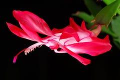 рождество кактуса Стоковые Фото