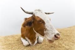 Рожки выгона коровы стоковое фото