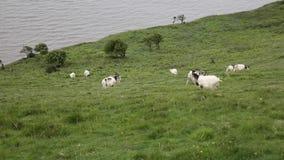 Рожки и борода великобританской примитивной породы козы большие сток-видео