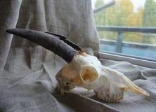 Рожки и череп ` s козы Стоковое Изображение RF