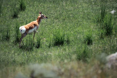 Рожок Prong на холме стоковое фото rf