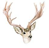 рожочки самеца оленя Стоковая Фотография RF