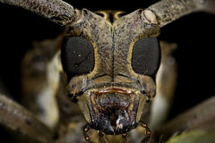 рожочок жука длинний стоковое фото rf
