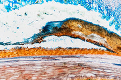 Рожь долгоносика клетки микроскопическая Стоковые Изображения