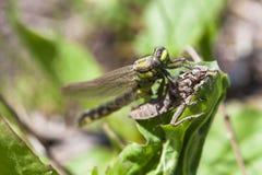 Рождение dragonflie Стоковые Фотографии RF