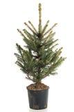 Рождественская елка в баке Стоковое Изображение RF