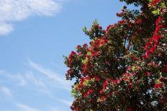 Рождественская елка Pohutukawa Стоковое Фото
