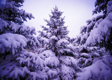 Рождественские елки под красивой крышкой снега. Ландшафт зимы Стоковая Фотография RF