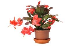 рождество кактуса Стоковые Изображения RF