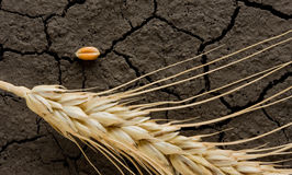 рож земли зерна уха безводная Стоковые Изображения