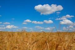 рож поля урожая Стоковое Изображение RF