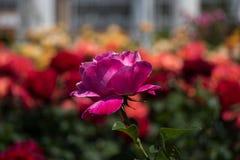 Розарий с красивыми свежими розами Стоковые Фото