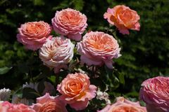 Розарий с красивыми свежими розами Стоковая Фотография