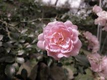 Розарий Стоковая Фотография RF