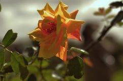 Роза апельсина над серебряным небом Стоковые Фотографии RF