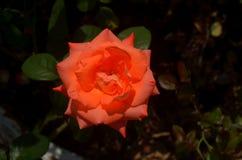 Роза апельсина одиночная Стоковое Изображение RF