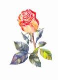 Роза апельсина вектора в акварели Стоковая Фотография