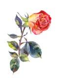 Роза апельсина в акварели одна белизна розы красного цвета Костюм для приглашения, открытки, wedding дизайна Стоковые Фото