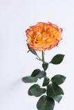 Роза апельсина в ясной вазе Стоковое фото RF