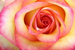 Роза апельсина. Макрос Стоковое фото RF