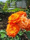 Роза апельсина на flowerbed Стоковая Фотография RF