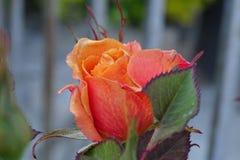Роза апельсина от сада Стоковые Изображения