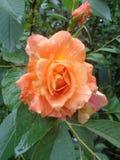 Роза бежа в дождевых каплях Стоковые Изображения