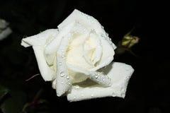 Роза белизны на черной предпосылке Стоковое Изображение
