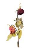 Роза высушенная смешиванием изолированная на белой предпосылке Стоковое Изображение