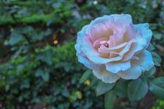 Роза в Сан-Паулу Бразилии стоковое изображение