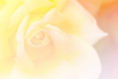 Роза в саде, селективный фокус желтого цвета, винтажный тон, градиент Стоковое Изображение RF