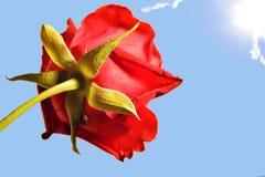 Роза в Солнце Стоковые Изображения