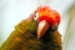 Роза-головый длиннохвостый попугай Стоковое фото RF