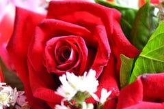 Роза для celebity и для любов стоковое изображение rf