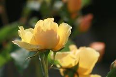 Роза желтого цвета в саде коттеджа Стоковая Фотография