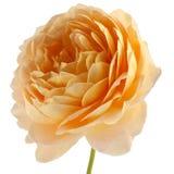 Роза желтого цвета изолированная на белой предпосылке Стоковое фото RF