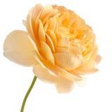 Роза желтого цвета изолированная на белой предпосылке Стоковые Фото