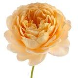 Роза желтого цвета изолированная на белой предпосылке Стоковое Изображение RF