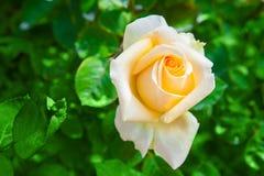 Роза желтого цвета на зеленой предпосылке leavesnature Стоковая Фотография