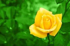 Роза желтого цвета на зеленой предпосылке leavesnature Стоковые Изображения RF
