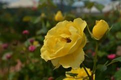 Роза желтого цвета одиночная Стоковые Изображения
