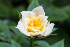 Роза желтого цвета с падениями воды Стоковое фото RF