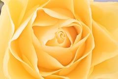 Роза желтого цвета стоковое изображение
