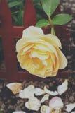 Роза желтого цвета в саде Стоковые Фотографии RF
