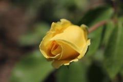 Роза желтого цвета в саде Стоковые Изображения RF